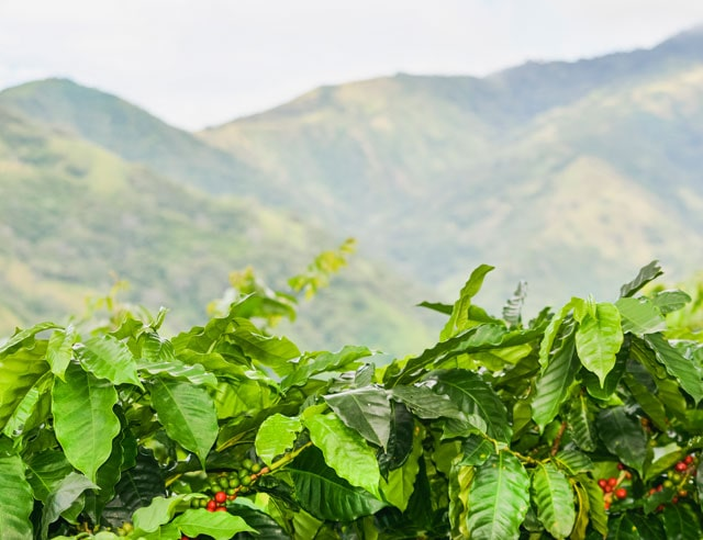 Coffee plants with mountains in the background