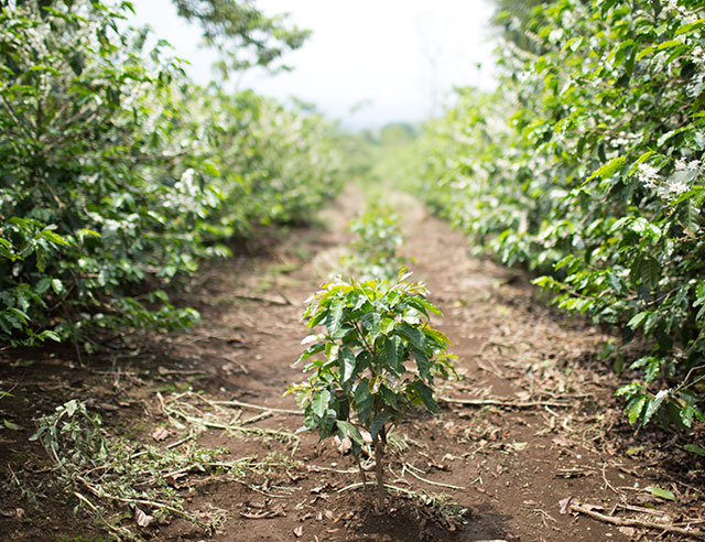 Coffee plant in the middle of a row on a plantation