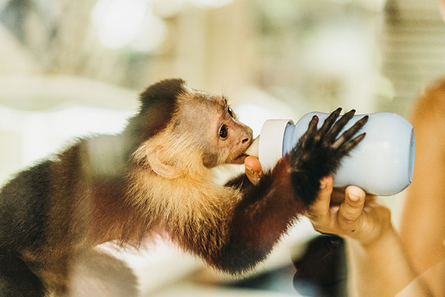 Capuchin monkey being bottle-fed