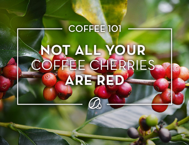 Not All Coffee Cherries are Red