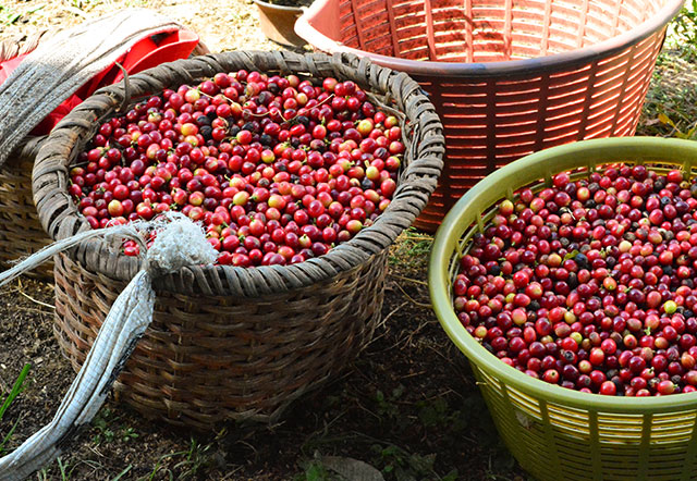 Ripe coffee cherries in baskets