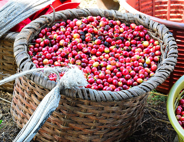 Red and yellow coffee cherries in basket