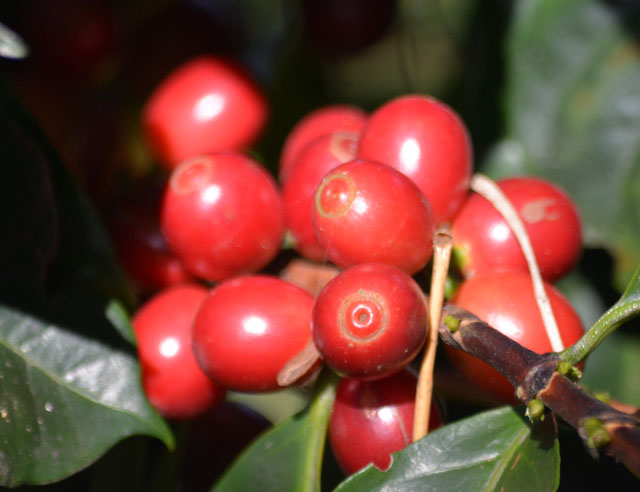 Red coffee cherries on a branch
