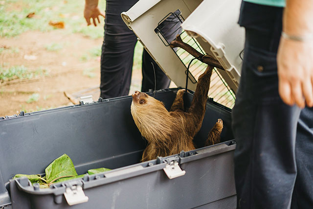 Rehabilitated sloth leaving kennel