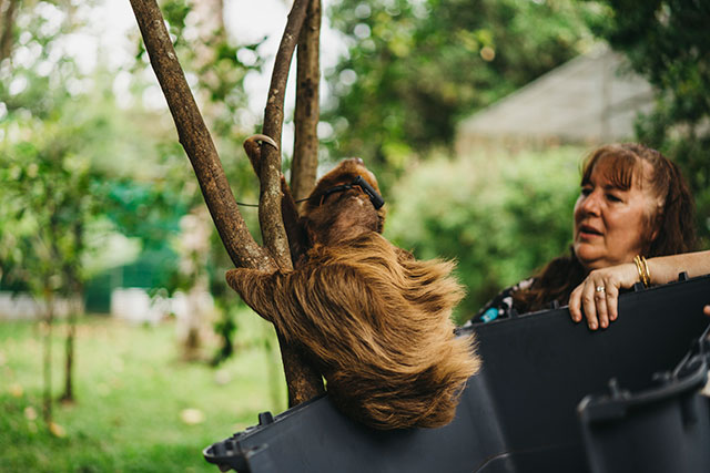 Rehabilitated sloth being released