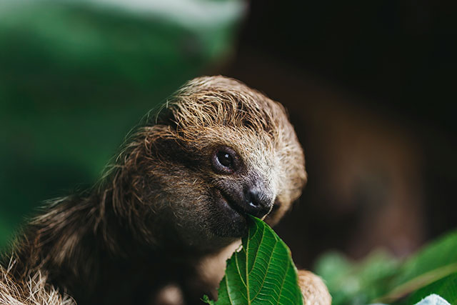 Baby sloth eating a leaf