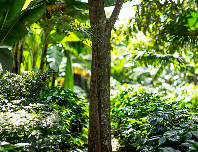 Tree in a shade-grown coffee plantation